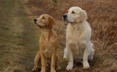 大型犬では人気のレトリバー