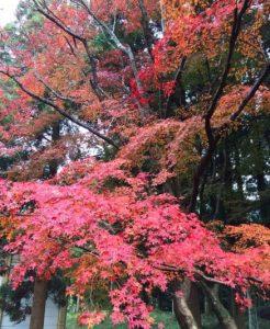 秋月城(あきづきじょう)跡周辺の紅葉は九州首位の美しさ